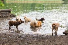 Различные собаки играя в озере Стоковая Фотография