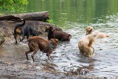 Различные собаки играя в озере Стоковые Фото