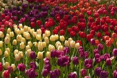 различные тюльпаны Стоковое Фото