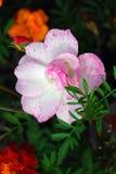 Различные цветки зацветая в саде лета Стоковые Изображения