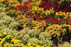 Различные цветки хризантемы Стоковая Фотография