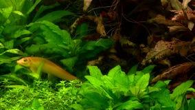 Различный заплыв рыб в аквариуме сток-видео