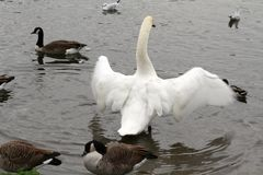 Размах крыла лебедя Стоковая Фотография