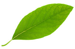 Размер листьев авокадоа большой Стоковая Фотография