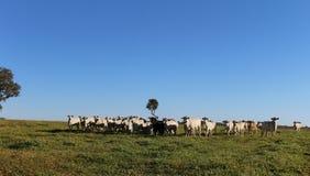 Размножение скотин стоковая фотография rf