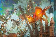 2 разного вида рыб аквариума в одном аквариуме: Обычные рыбы Scalare индивидуальные, карась Auratus известное как золотые рыбы Стоковое Изображение