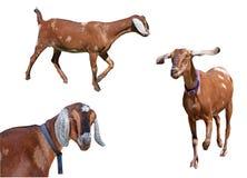 Разнообразие запятнанных изолированных коз Nubian Стоковое Изображение RF