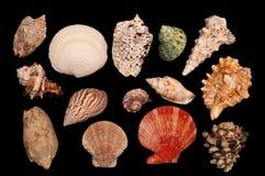 Разнообразие изолированных seashells Стоковое Изображение RF