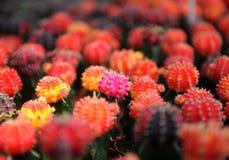 Разнообразие кактуса Стоковое Изображение