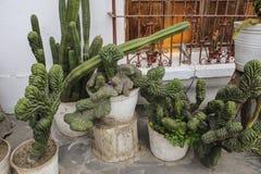 Разнообразие кактусов в баках около стены дома, Лима, Перу Стоковые Изображения RF