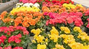 Разнообразие цветков бегоний стоковая фотография rf