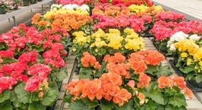 Разнообразие цветков бегоний стоковые фотографии rf