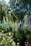 Разнообразие delphiniums сада стоковое фото