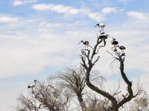 Разнообразие Ibis: Белый и Солома-necked Стоковые Фото