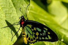 Разнообразия бабочки на ботанических садах Стоковые Изображения RF