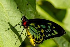 Разнообразия бабочки на ботанических садах Стоковые Фотографии RF