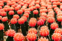 Разнообразия завода кактуса в баке Закройте вверх по взгляду Селективный фокус стоковое фото