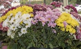 разнообразия цветка маргаритки стоковые фотографии rf
