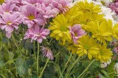 разнообразия цветка маргаритки стоковое изображение