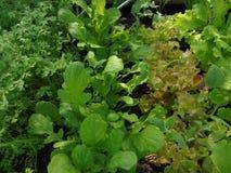 Разные виды салата растя в парнике весной стоковая фотография