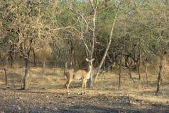 Разный вид оленей на лесе запаса gir Гуджарата в Индии стоковая фотография rf