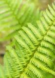 разрешение зеленого цвета папоротника Стоковое Изображение RF