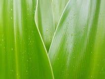 Разрешение лилии Crinum с капелькой дождя Стоковые Изображения RF