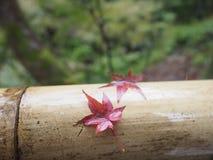 Разрешение красного клена в Киото Японии стоковые фото
