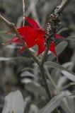 Разрешение красного клена сидит в черно-белых ветвях Стоковое Фото