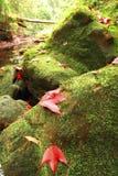 Разрешение красного клена Стоковая Фотография RF