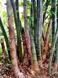 разрешение jpg bamboo рощи высокое Стоковая Фотография