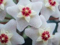 Разрывы 2 цветка - конец-вверх carnosa Hoya стоковое изображение