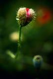 Разрыв мака Изолированный красивый красный цветок мака с росой абстрактный зеленый цвет предпосылки Стоковые Изображения RF