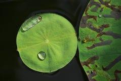 разрыв lutos листьев Стоковые Фотографии RF
