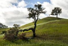 Разделенное дерево Стоковое Изображение RF