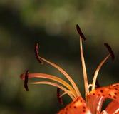 Разделите фото lilly цветка, фотографии макроса Стоковое Изображение