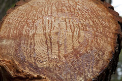Раздел ствола дерева хобота с ежегодными кольцами Стоковые Изображения