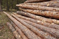 Раздел хобота древесины сосны штабелированный в индустрии тимберса леса Стоковое Изображение RF