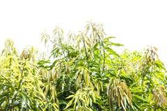 Различная тень листьев манго на белизне Стоковая Фотография