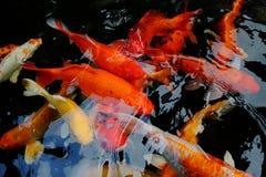 Различное заплывание рыб koi цвета в бассейне Стоковое фото RF