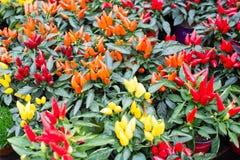 Различные заводы перца chili Стоковое Фото