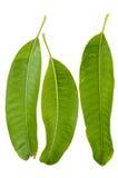 Различные листья манго углов Стоковое Изображение RF