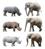 Различные позиции африканского слона и белого носорога носорога или квадрат-lipped на белой предпосылке Стоковое Изображение RF