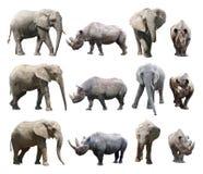 Различные позиции африканского слона и черного носорога на белой предпосылке Стоковое фото RF