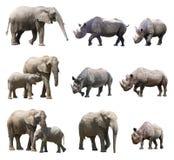 Различные позиции африканского слона и черного носорога на белой предпосылке Стоковые Фотографии RF