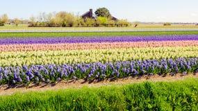Различные покрашенные прокладки с множеством цветя завода гиацинта Стоковое Изображение