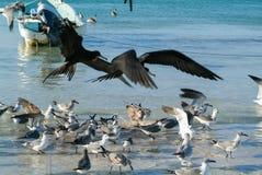 Различные птицы летая и плавая на пляже Holbox Стоковое Изображение RF