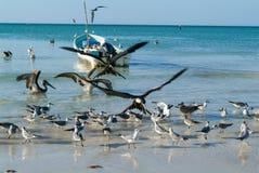 Различные птицы летая и плавая на пляже Holbox Стоковые Изображения