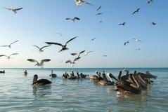 Различные птицы летая и плавая на пляже Holbox Стоковая Фотография