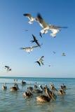 Различные птицы летая и плавая на пляже Holbox Стоковое Изображение